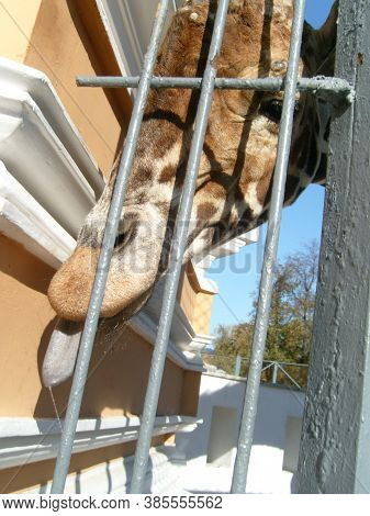 A Giraffe Sticks Out Its Wet, Gray, Slobbering Tongue Through The Metal Grate Of The Aviary. Large U