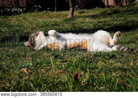 Colored Cat Lies On Its Back And Moves Its Paws In Its Sleep As If It Were Swimming. Warm Up Before