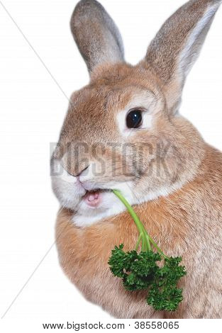 Rabbit Eating Parsley