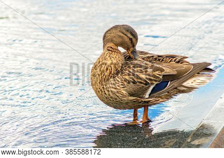 Female Mallard Duck Anas Platyrhynchos Stand In Water. Female Wild Duck Preening Its Feathers While