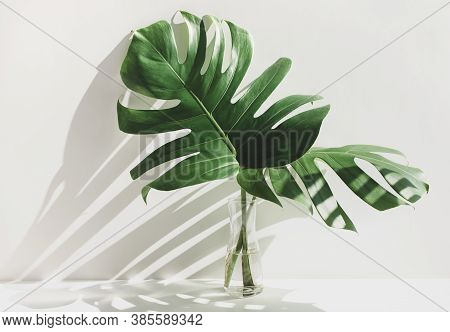 Monstera Leaves In Glass Jug With Sunlight And Long Shadow On Wall.tropical Nature And House Decorat