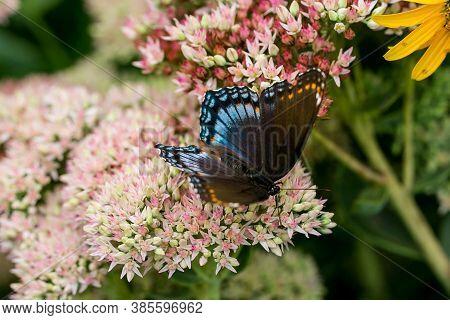 Beautiful Blue, Black And Orange Buttefly On Sedum Flower
