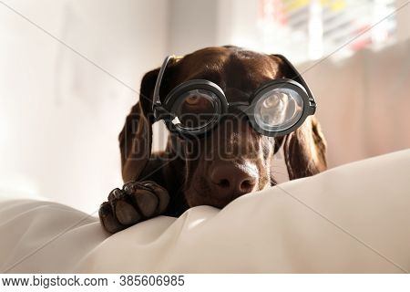 Adorable German Shorthaired Pointer Dog In Funny Glasses On Cushion Indoors. Halloween Costume For P