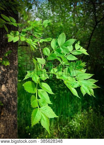 Spring Green Leaves On A Branch Of An Elm Tree. Young Green Leaves On A Tree Branch Of An Elm During