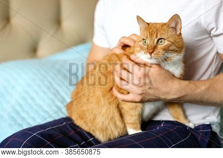 Close-up Of A Smooth-haired Domestic Cat With A Red And White Coat Sitting On The Hands Of A Man And