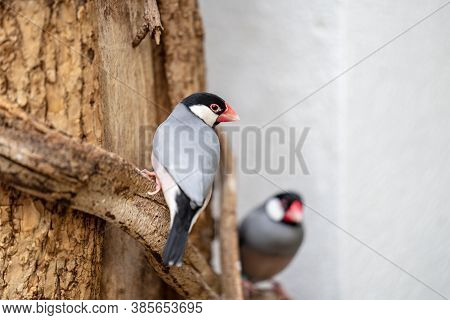 The Java Sparrow, Lonchura Oryzivora, Also Known As Java Finch, Java Rice Sparrow Or Java Rice Bird