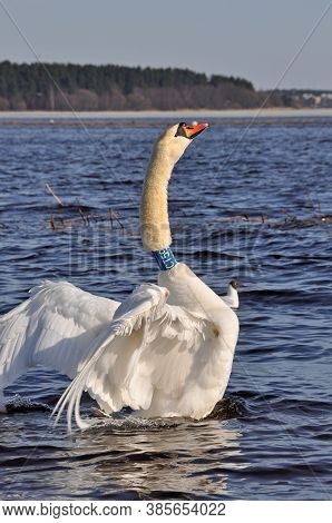 White Swan Flap Its Wings Above Blue Water Surface