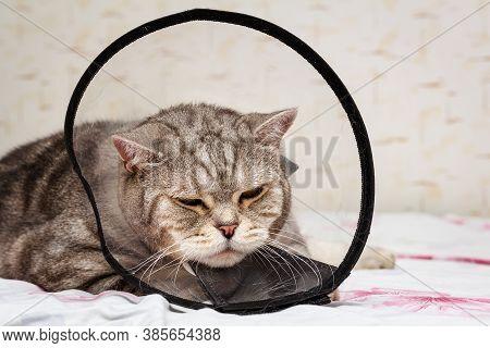 Domestic Pet Disease. Gray Shorthair Scottish Cat Laying In Cone Collar.