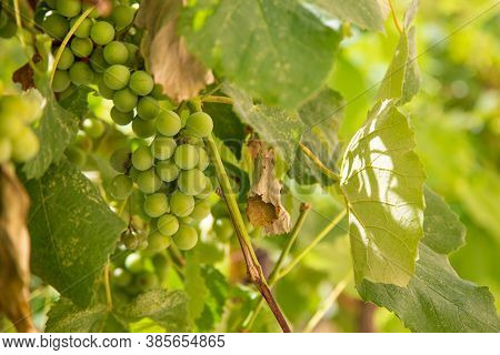 Fruits Of Green Grapes On The Tree. A Bush With Fruits Of Green Grapes. Green Grapes On The Tree Clo