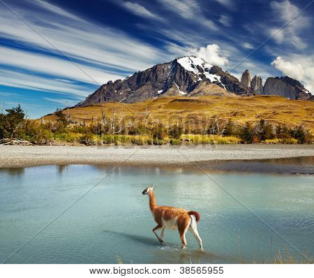 poster of Guanaco crossing the river in Torres del Paine National Park, Patagonia, Chile