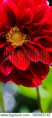 Beautiful Large And Different Colors Of Dahlias, Autumn Flowers