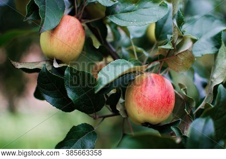 Beautiful Juicy Apples For Juice On A Hot Summer Day