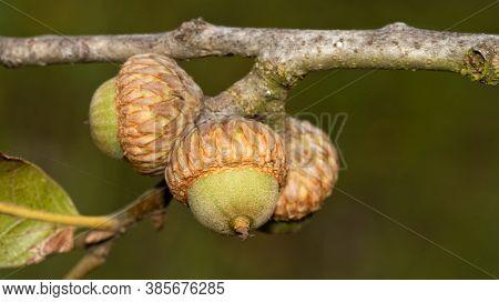 Closeup of Blackjack Oak acorns