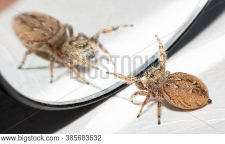 Female Brilliant Jumping Spider waving her front legs at her own reflection in the mirror, trying to scare the opponent away