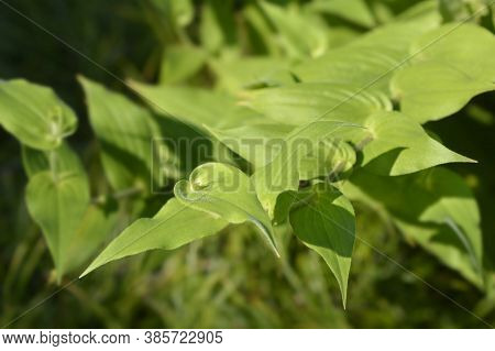 Hairy Toad Lily Leaves - Latin Name - Tricyrtis Hirta