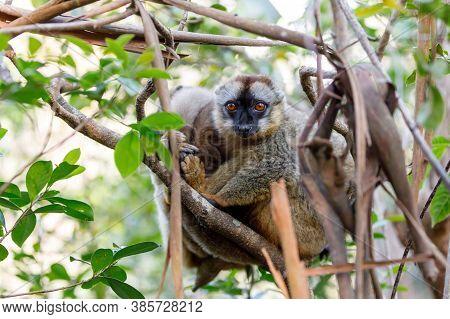 Common Brown Lemur (eulemur Fulvus) In Top Of The Tree, In Natural Habitat, Andasibe - Analamazaotra