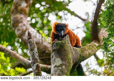 Madagascar Red Ruffed Lemur, Varecia Rubra, On Tree Top. Masoala Rainforest, Madagascar Wildlife