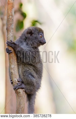 Eastern Lesser Bamboo Lemur (hapalemur Griseus) Known As The Gray Bamboo Lemur And The Gray Gentle L