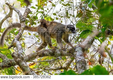 Common Brown Lemur (eulemur Fulvus) In Natural Habitat, Female With Baby On Back. Andasibe - Analama