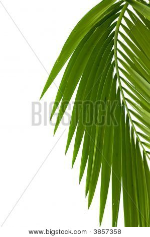 Leaves of palm tree isolated on white background poster