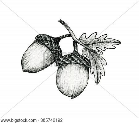 Acorns On A Branch Isolated On White, Black And White Ink Drawing Of Autumn Acorns And Oak Leaves, V