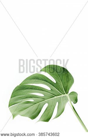 Close-up Of The Monstera Leaf. Tropical Palm Leaves Monstera Isolated On White Background. Tropical