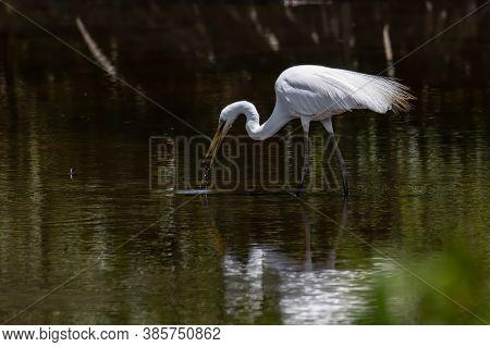 Nature Wildlife Image Of Egret Bird On Wetland Center In Kota Kinabalu, Sabah, Malaysia. Cattle Egre