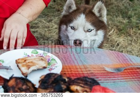 Siberian Husky Sits Near The Table With Meat And Asks For Food. The Dog Looks At The Grilled Treat.