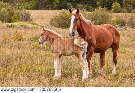 Two Brown And White Horses, A Stallion And A Colt, Standing Together In A Grassy Field On An Early F