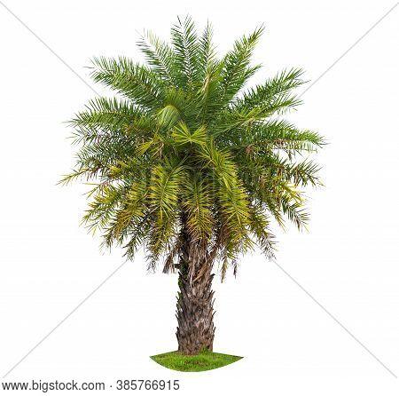 Palm Tree Wood Gardening White Background Isolates