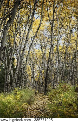 Autumn Colours In Big Hill Springs Provincial Park As The Tree Leaves Change Colour .