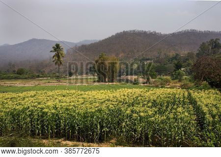 Thai People Transplant Corn Seedlings In Farmland Of Corn Field At Riverside Pai River With Landscap