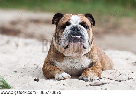 English Bulldog Dog Sitting On The Sand