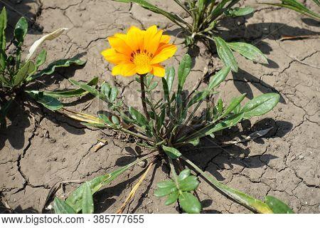 A Flower Of Bright Orange Gazania Rigens In Mid July