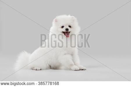 Beautiful Companion. Spitz Little Dog Is Posing. Cute Playful White Doggy Or Pet Playing On Grey Stu
