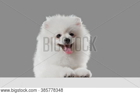 Smiling Cute. Spitz Little Dog Is Posing. Cute Playful White Doggy Or Pet Playing On Grey Studio Bac