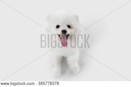 Attented, Smiling. Spitz Little Dog Is Posing. Cute Playful White Doggy Or Pet Playing On White Stud