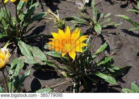 Orange Flower Of Gazania Rigens In July