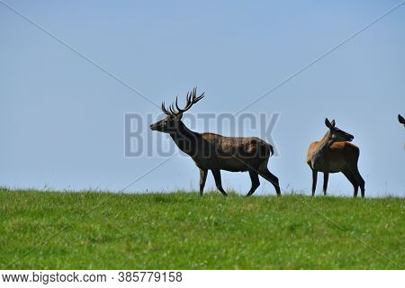 Deer Stag With Antlers On The Horizon Of The Meadow During The Rut