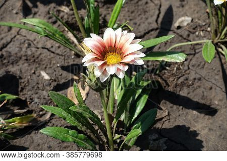 Bud And Pink Flower Of Gazania Rigens In August