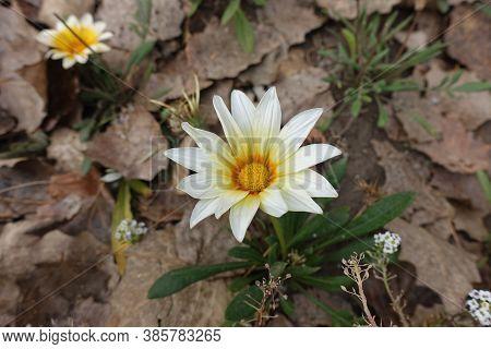 A Flower Of White Gazania Rigens In September