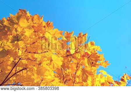 Fall leaves background with free space for text. Colorful orange fall maple leaves against blue sky. Fall background with golden leaves. Autumn background, colourful autumn leaves of autumn maple tree
