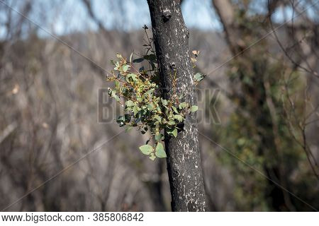 Forest Regeneration After Bushfires In The Blue Mountains In New South Wales In Australia