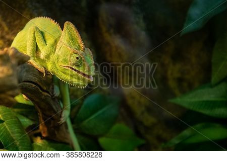 Cute Chameleon With Its Mouth Open Sits On Branch