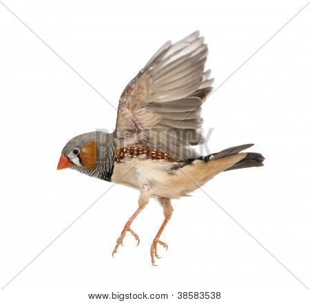 Zebra Finch flying, Taeniopygia guttata, against white background