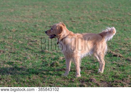 Beautiful Dog Breed Golden Retriever, Outdoors.golden Retriever Walks On Morning Green Meadow.