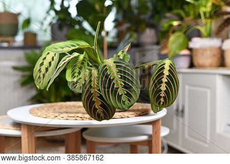 Tropical Plant Called 'maranta Leuconeura Fascinator' With Leaves With Exotic Red Stripe Pattern On