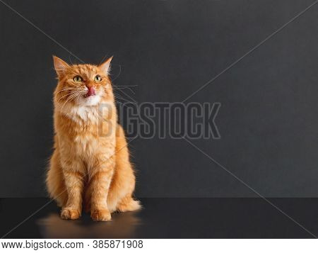 Cute Ginger Cat With Awesome Expression On Face Posing Like Lion. Fluffy Pet Licks Its Lips. Black B