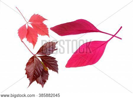 Dark-red Leaves Of Wild Grape And Amaranth Isolated On A White Background. Autumn Red Leaves Of Grap