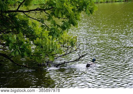 Bird On The Shore Of The Lake. Beautiful Garden With Lake Kleinhesseloher And Lots Of Greenery, Muni